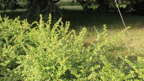 Boxwood. Image was shot in jambol stock video footage