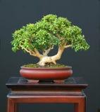 boxwood krasnolud bonsai obraz stock