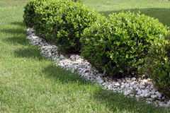 Boxwood on the lawn Royalty Free Stock Images