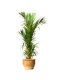 Boxwood plant Royalty Free Stock Images