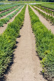 Boxwood plants growing in a nursery Royalty Free Stock Image