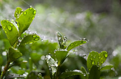 Boxwood after rain Royalty Free Stock Photography