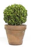 Boxwood roślina Zdjęcia Stock