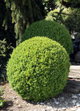 Boxwood round kształt Obraz Stock