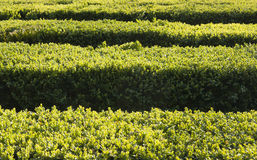 Boxwood in a row Royalty Free Stock Images