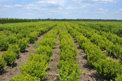Boxwood rows Royalty Free Stock Image