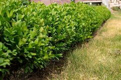 Boxwood shrub selective focus Stock Photo