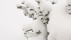 Boxwood shrubs under the snow, close-up.Video full hd. Boxwood shrubs under white snow, close-up.Video full hd stock video footage