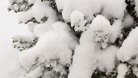 Boxwood shrubs under the snow, close-up.Video full hd. Boxwood shrubs under white snow, close-up.Video full hd stock footage