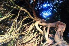Boxwood stem Royalty Free Stock Images