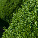 Boxwood topiary Stock Images