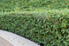 Boxwood. Royalty Free Stock Images