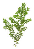 Boxwood xmas branch isolated Royalty Free Stock Photos