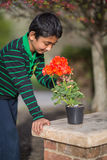 Boy Admiring Geranium Flowers in Spring Stock Photo