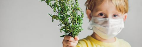 The boy is allergic to ragweed. In a medical mask, he holds a ragweed bush in his hands. Allergy to ambrosia concept. BANNER, long. The boy is allergic to stock photos