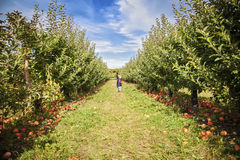 Boy in apple orchard Royalty Free Stock Photo