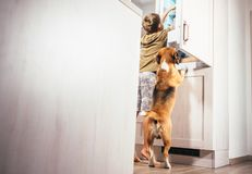 Boy and beagle dog look something delicious  in refrigerator. Boy and beagle dog look something delicious in refrigerator Stock Image
