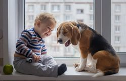 Boy and Beagle dog sit together on the window sill. European boy and Beagle dog sit and play on the windowsill in the room Royalty Free Stock Photo