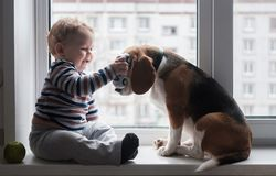 Boy and Beagle dog sit together on the window sill. European boy and Beagle dog sit and play on the windowsill in the room Stock Photo