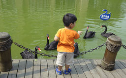 Boy and black swan Royalty Free Stock Images