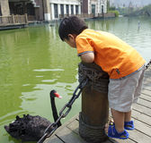 Boy and black swan Stock Images