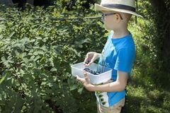Boy in a blue T-shirt and a straw hat on his head stands near the bush of Kamchatka berries. He holds in his hands a container w stock photo