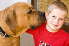 Boy with boerboel Stock Photos