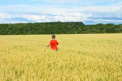 The boy in a bright T-shirt runs along the yellow field where ears of grain grow, the grain against the blue sky, the rear view. Warm, summer day royalty free stock image