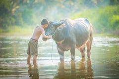 Boy and buffalo Royalty Free Stock Photo