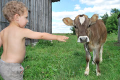 The boy and the calf Royalty Free Stock Image