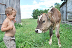 The boy and the calf. In the summer, the little boy sees the little calf Royalty Free Stock Images
