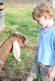 Boy caring for his goat Royalty Free Stock Image