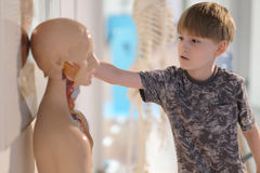 The boy in the center of entertaining science. The boy looks at the mannequin of a man with internal organs in the center of entertaining science Royalty Free Stock Photography