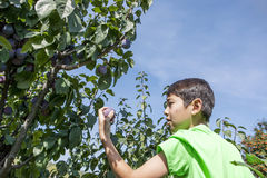 Boy checks picked plum. Royalty Free Stock Images
