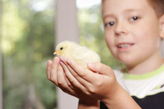 Boy with chick royalty free stock photography