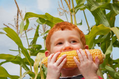 Boy child eating organic corn in garden. Young boy eating fresh corn with cornstalk and sky background Royalty Free Stock Photos