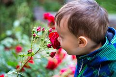 Boy child smelling red roses stock photo