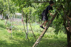 Boy climbimg on ladder. A young boy is climbing on a tree to eat some mulberries Royalty Free Stock Image