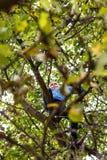 Boy climbing apple tree Royalty Free Stock Photography
