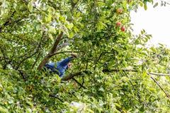 Boy climbing apple tree Stock Photos