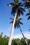 Boy climbs at coconut palm Stock Photos