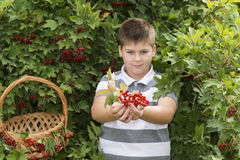 Boy collects berries of viburnum in the garden Stock Image