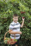 Boy collects berries of viburnum in the garden Royalty Free Stock Image