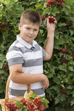 Boy collects berries of viburnum in the garden Royalty Free Stock Images