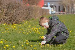 Boy collects dandelions on the lawn in the spring city park. stock image