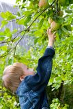 Boy collects the harvest of apples Stock Photography
