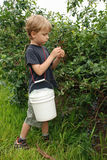 Boy collects harvest of blueberry. Boy collects harvest  of ripe blueberry in summer day Stock Photo