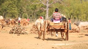 A boy on the the cow cart stock video