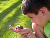 Boy curious of toad. A young boy examining a toad on a summer day Stock Photos