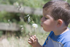Boy and dandelion Stock Image